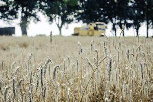 Rye fields near Warsaw, Poland ©Belvedere